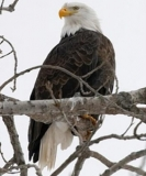 Bald Eagle 30-43 in.